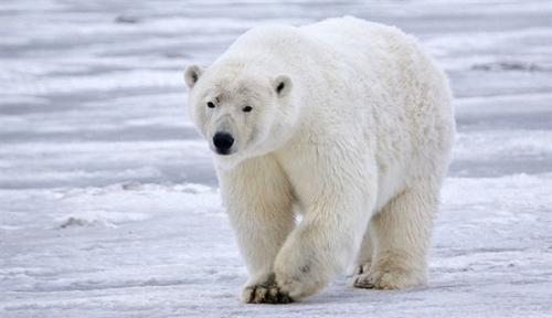 天气太热北极熊挨饿